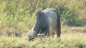 母牛吃着草 影视素材