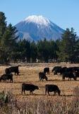 母牛吃草和登上死命/Ngauruhoe牧群在背景中在新西兰 免版税库存照片