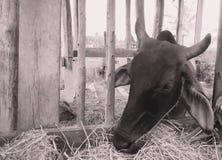 母牛吃草在关闭  库存图片