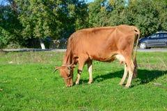 母牛吃草在路 库存照片