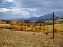母牛吃草在Bobrovnik附近的,斯洛伐克 免版税库存照片