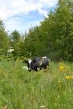 母牛吃草并且吃草草甸 免版税库存图片