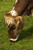 母牛吃草无角 免版税图库摄影