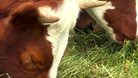 母牛吃草特写镜头 股票录像