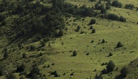 母牛吃草的山草甸 免版税库存图片