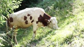 母牛吃草 股票录像