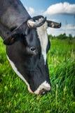 母牛吃草 库存照片
