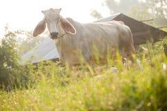 母牛吃草 库存图片