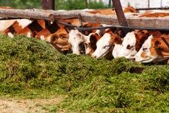母牛吃青贮 免版税库存图片
