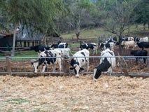 母牛吃食物的玉米果皮 02 图库摄影
