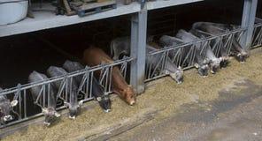 母牛吃饲料 库存图片