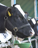 母牛吃 免版税库存图片
