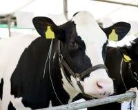 母牛吃 免版税库存照片