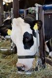 母牛吃 库存照片