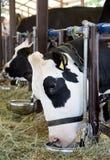 母牛吃 免版税图库摄影