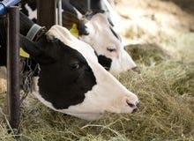 母牛吃 图库摄影