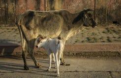 母牛和一头小小牛 Orchha, Madhya Pradesh,印度 库存图片
