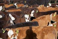 母牛和一岁小牛牧群在笔 免版税库存照片
