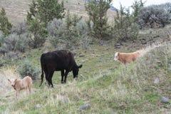 母牛和两头小牛在被绘的小山国家历史文物,中央俄勒冈吃草 免版税库存图片