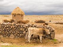 母牛和多暴风雨的天气在天际 免版税库存照片