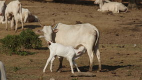 母牛和她的幼小小牛 股票录像
