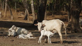 母牛和她的幼小小牛 股票视频