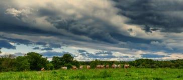 母牛和威胁的多云天空 在风景上的恐吓的云彩 免版税库存照片