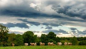 母牛和威胁的多云天空 在风景上的恐吓的云彩 库存照片