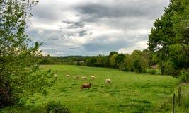 母牛和威胁的多云天空 在风景上的恐吓的云彩 库存图片