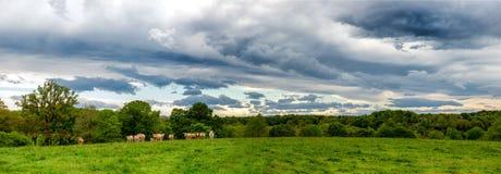 母牛和威胁的多云天空 在风景上的恐吓的云彩 免版税图库摄影