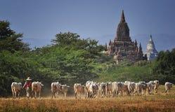 母牛和寺庙 免版税图库摄影