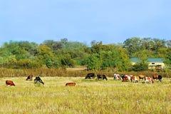 母牛和小牛在房子附近 免版税库存图片