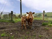 母牛和小牛在泥由门 免版税库存照片