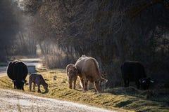 母牛和小牛家庭在日落 免版税库存图片