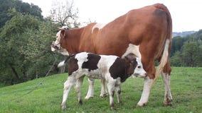 母牛和小牛 影视素材