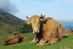 母牛和小牛 库存照片