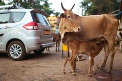 母牛和小牛 免版税图库摄影