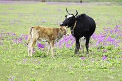 母牛和小牛 图库摄影