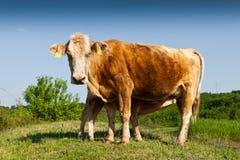 母牛和小的小牛 免版税库存照片