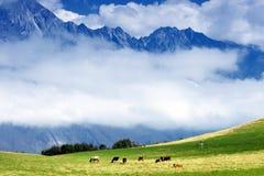 母牛和山 免版税库存图片