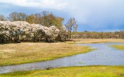母牛和开花的扶移树在Gooi,荷兰 免版税库存照片