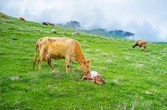 母牛和新出生的小牛 免版税库存图片