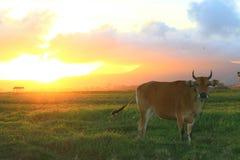 母牛和日落 免版税库存照片