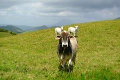 母牛和火山 图库摄影