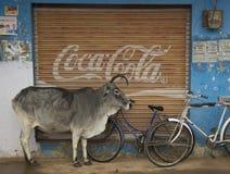 母牛和焦炭 免版税库存图片