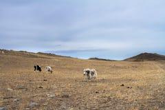 母牛和牦牛在干草中的狂放的牧场地和石头在早期的春天吃草在美丽如画的背景的一个山区 免版税库存图片