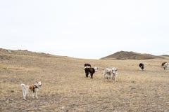 母牛和牦牛在有一条成群日本人秋田inu狗的狂放的牧场地在一个山区吃草在早期的春天 免版税图库摄影
