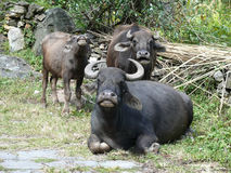 母牛和牦牛,尼泊尔杂种  免版税库存图片