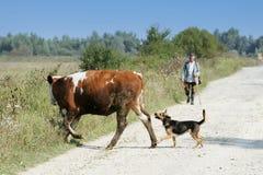 母牛和狗横穿路 库存照片