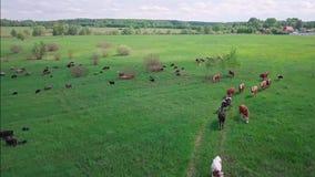 母牛和绵羊牧群在一个绿色草甸 股票视频